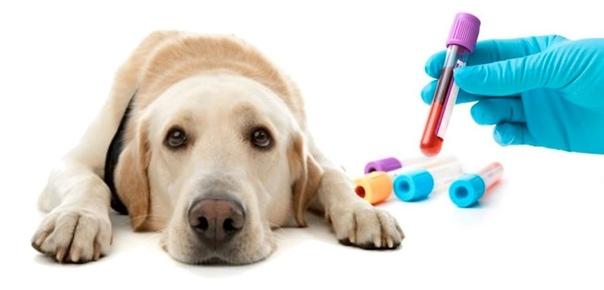 Группы крови есть не только у человека: у собак их более десяти.