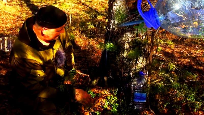Поход в лесные дебри через болото в поисках божественного березового сока.