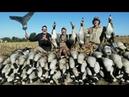 охота на гусей в Канаде! 82 Гуся взяты в начале сезона.