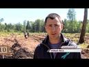 В Большесельском районе активисты высадили целый еловый лес