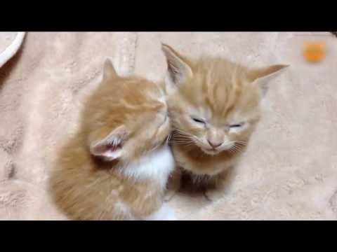 「귀여운 고양이」웃지 않으려 노력하십시오 ★ 가장 웃긴 고양이 영화 39