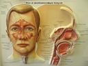 Защита органов дыхания. ЛОР органы. Иммунитет ЛОР органов и органов дыхания.