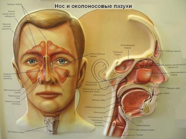 Защита органов дыхания ЛОР органы Иммунитет ЛОР органов и органов дыхания