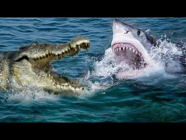 Крокодил против Акулы. Сумасшедшие битвы животных