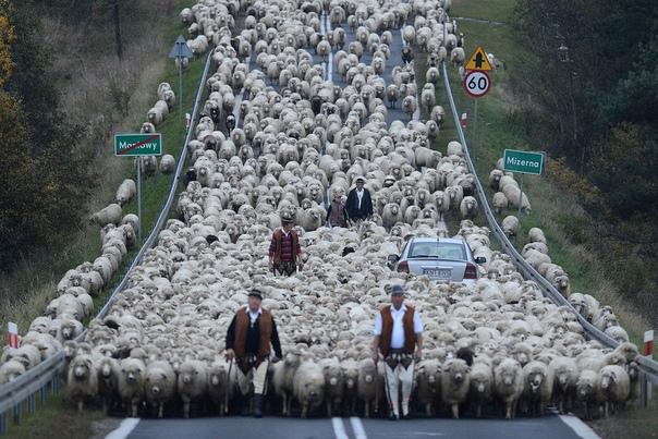 «Редык» С гор Низких Бескидов (Польша) пастухи гонят более 1500 овец в район вокруг города Новы Тарг после редыка (традиционное время выпаса), где владельцы будут заботиться о них зимой. Фото: