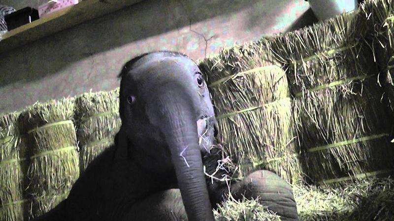 ゾウの赤ちゃん 寝起き(2011年12月18日)