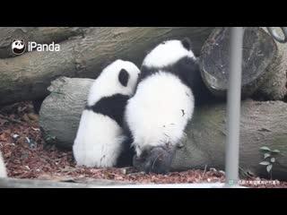 Хочу панду!