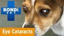 Как определить, есть ли у питомца катаракта / How To Detect If Your Pet Has Cataracts