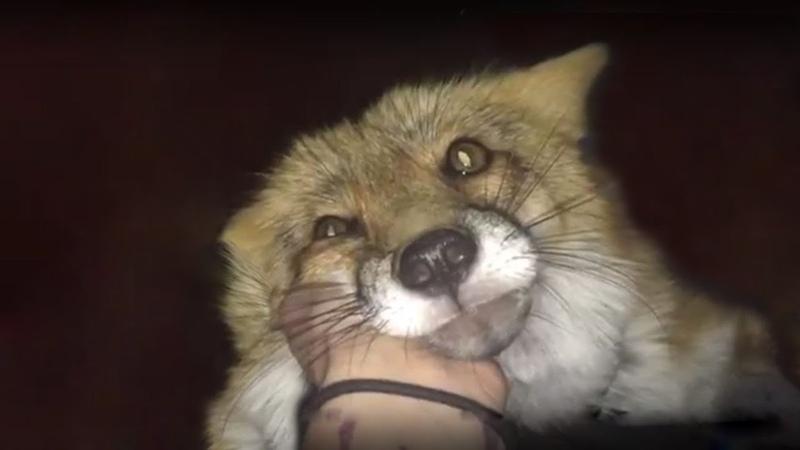 Как Мы кормили Лису! (Wild Fox takes food from my hand.)