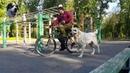 Велопрогулка с среднеазиатской овчаркой. Как приучить волкодава к велосипеду.