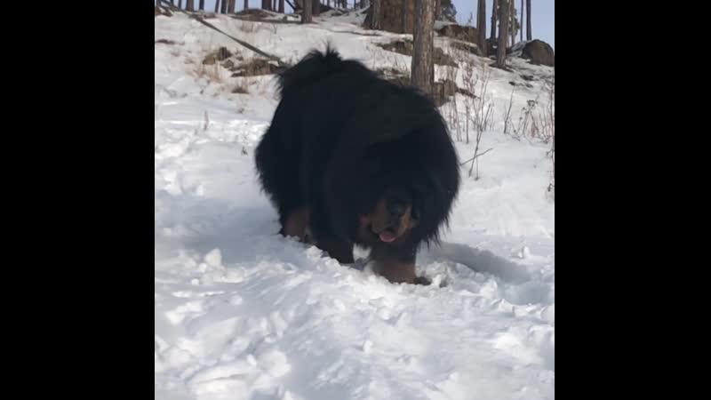 SNOW PRIDE YUNSHAN отец наших щенков Литер Ш и Б 2018 2019 год