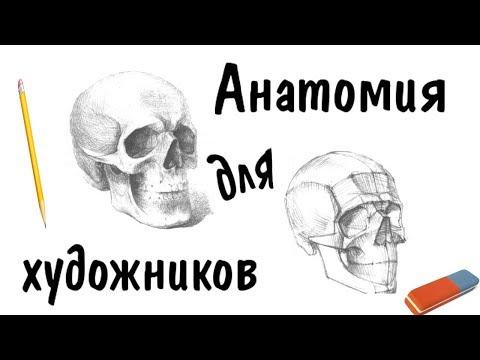 Рисунок черепа, пропорции лица ► Анатомия для художников
