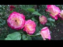 Роза Юбилей принца Монако в моем садике