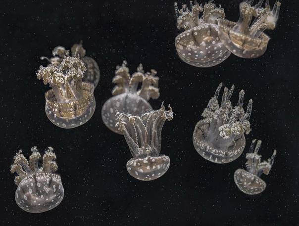 Тело медузы на 98% состоит из воды.