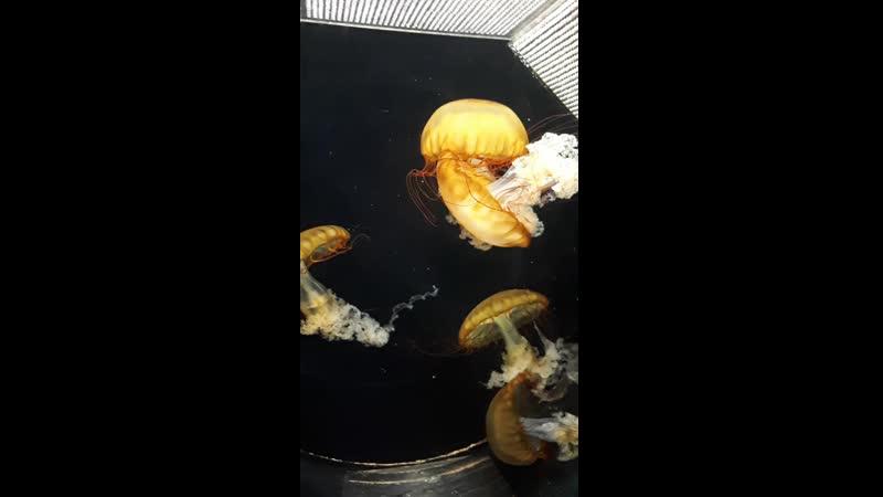 Золотые медузы. Золотые медузы