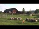 Australian Cattle Dog Herding Sheep