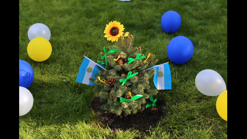 Abeto azul para Naty (Krasnodar) Голубая Ель для Нати