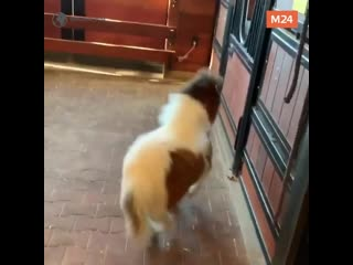 Мини-пони бегает в конюшне — Москва 24