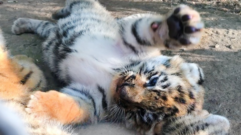 Фрося уже гуляет с малышами. Тигры. Тайган | Frosya is already walking with cubs. Tigers. Taigan