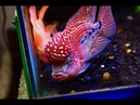 12 Exclusive Kamfa Flowerhorn Fish Amazing King Kamfa and Powerful Color