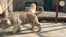 Белые тигрята и подарок от Кузеньки. Тайган | White tiger cubs and a gift from Kuzya. Taigan