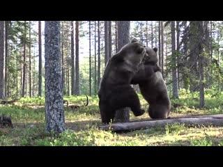 Best bear fight ever!
