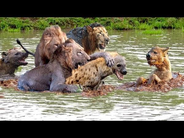 사자 vs 하이에나 영원한 배틀! Lion vs Hyena!!