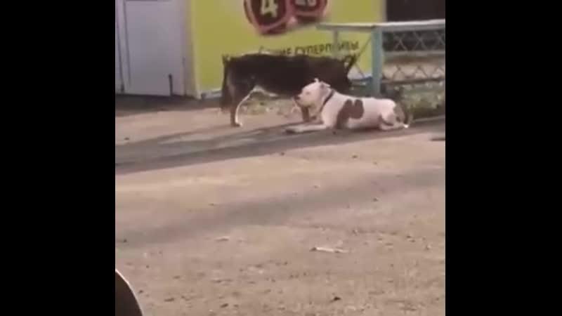 Ставропольская «собака-помогака