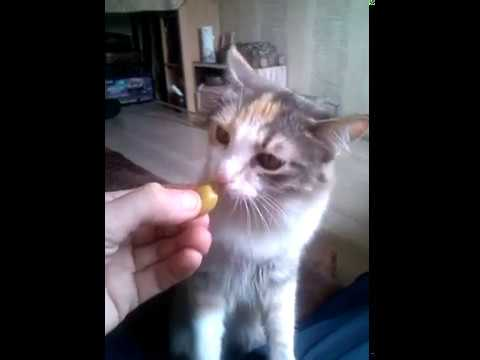 Кошка ест оливки и выполняет команды