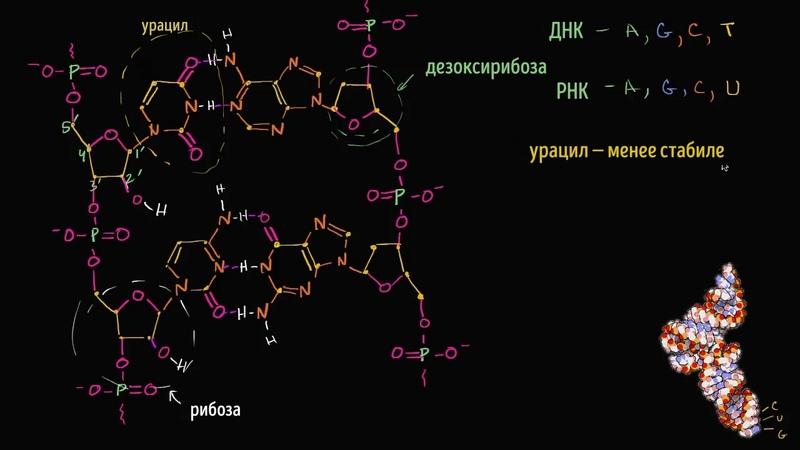 Молекулярная структура РНК видео 16 Макромолекулы Биология