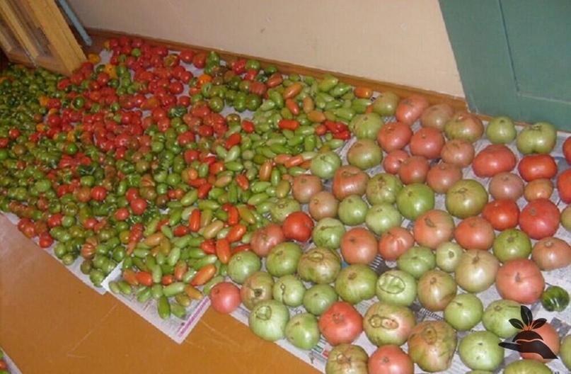 Едим свои помидоры в ноябре. Как и где хранить?