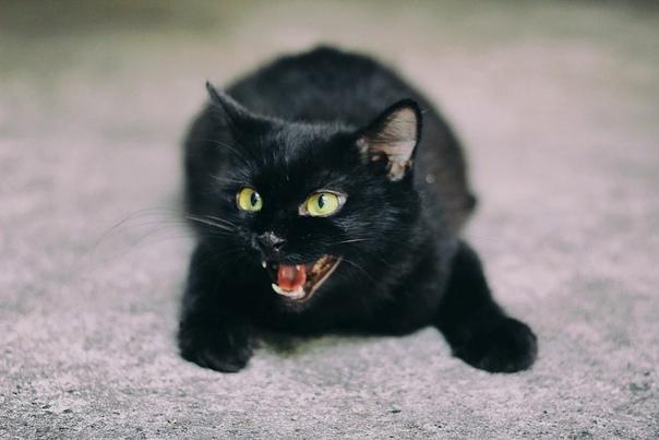 Черный кот в доме - приметы и суеверия. Черные коты лечат людей