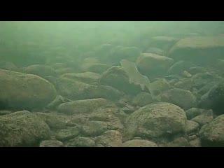 Хариус, подводная камера на течении