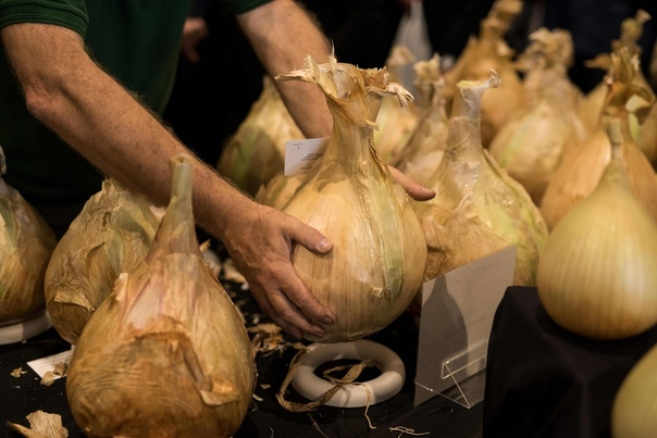 Фестиваль урожая Harrogate Flower Show в Великобритании Неделю назад в городке Харрогейт, графство Северный Йоркшир, стартовал ежегодный фестиваль урожая Harrogate Flower Show. За три дня