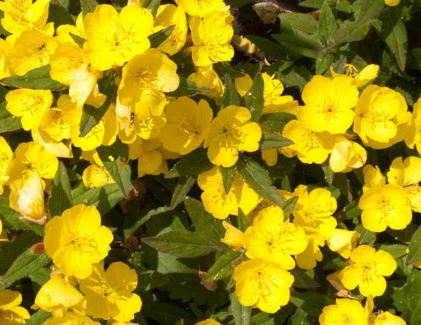 Возможное лечение симптомов менопаузы, жирное масло цветущего растения примулы использовалось в качестве растительного лекарственного средства с 1930-х годов.