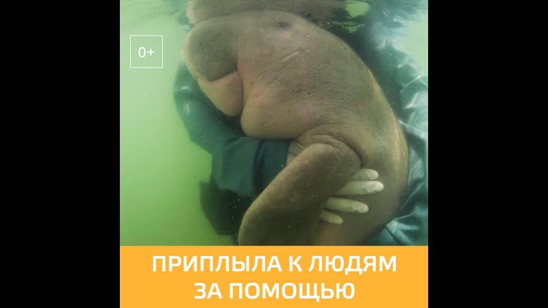 Детёныш дюгони вымирающего вида морских млекопитающих потерял маму и приплыл за помощью к людям УтроМ24