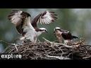 Charlo Montana Osprey Nest powered by
