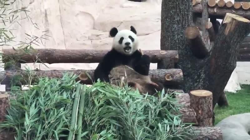 Пока Путин и Си общаются возле вольера с детьми, панда Жуи невозмутимо жует бамбук