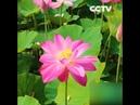 В Китае наступила пора цветения лотосов|CCTV Русский