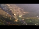 Pike Top Predator Under water