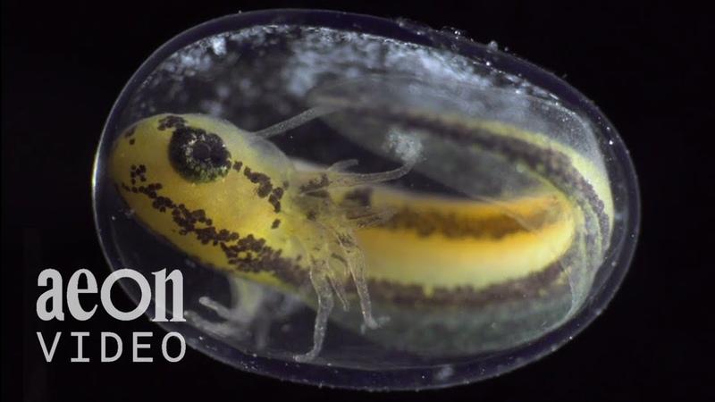 Видео - Как крохотный эмбрион превращается в прекрасный живой организм