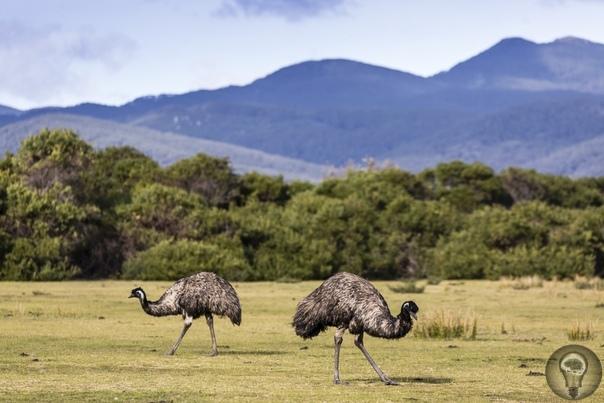 А МНЕ ЛЕТАТЬ ОХОТА: КАК НЕКОТОРЫЕ ПТИЦЫ УТРАТИЛИ СПОСОБНОСТЬ К ПОЛЕТУ На Земле обитает примерно 60 видов нелетающих птиц. Встретить их можно практически в любом уголке планеты: и в австралийских