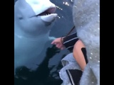Russian spy! Beluga whale saves iphone from sea