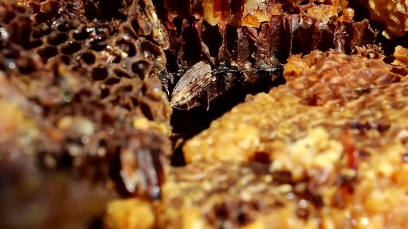 Восковая моль или огневка пчелиная