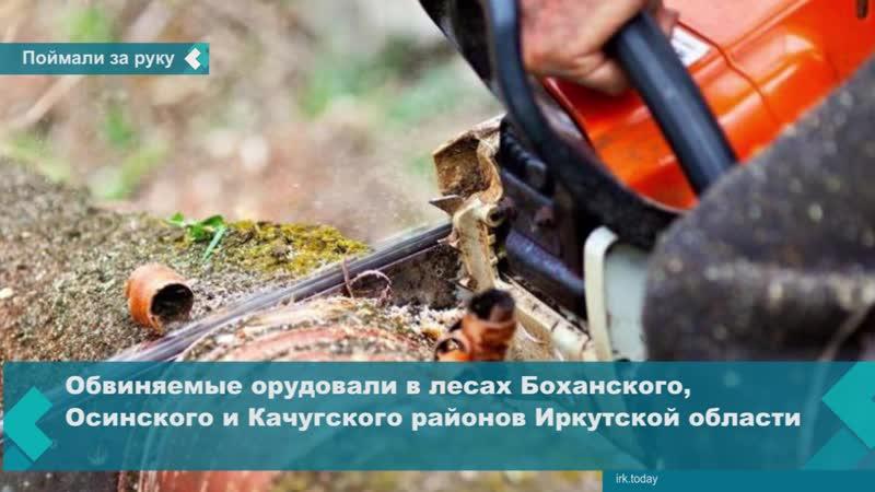 В Приангарье пресекли деятельность преступной группы черных лесорубов из 13 человек
