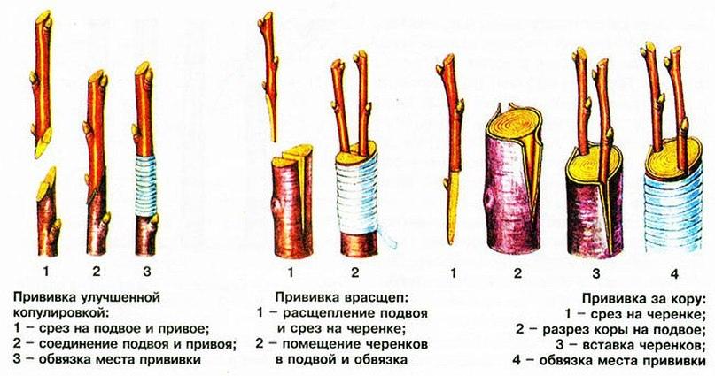 Прививка вишни весной для начинающих