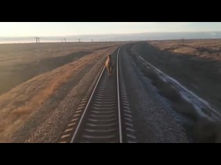 В астрахани пассажирский поезд на два часа опоздал из-за невозмутимого верблюда
