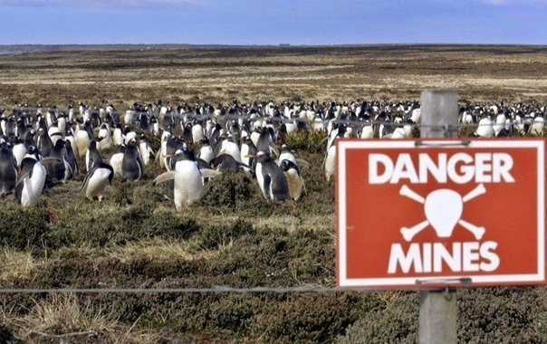 Как спасти пингвина противопехотной миной Фолклендские острова располагаются в в юго-западной части Атлантического океана, почти на 500 километров восточнее от побережья Южной Америки. На