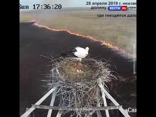 Аист не пожелал покидать гнездо, несмотря на опасность