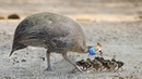 Hatching To Many Babies Process Of Guinea Fowl Breed